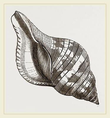 Tulip Drawing - Tulip Fasciolaria by Litz Collection