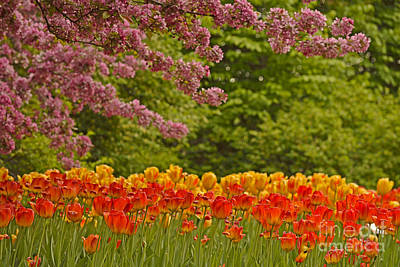 Photograph - Tulip Fest by Joshua McCullough