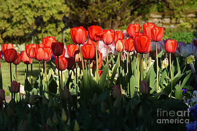 Photograph - Tulip Field 2 by Rudi Prott