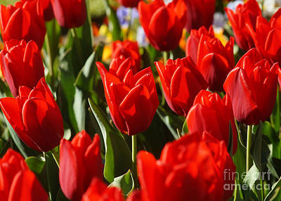 Photograph - Tulip Field 5 by Rudi Prott