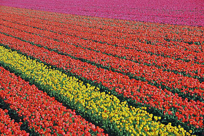 Photograph - Amsterdam Tulip Field by Allen Beatty