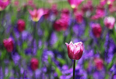 Photograph - Tulip Field by Jessica Jenney