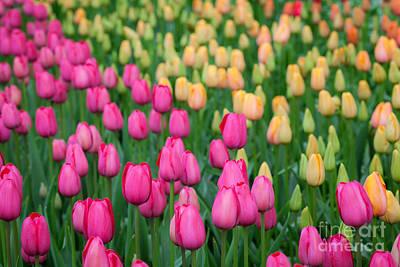 Photograph - Tulip Field by Katka Pruskova