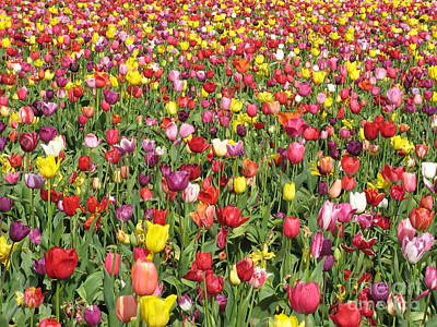 Photograph - Tulip Field by Marlene Rose Besso
