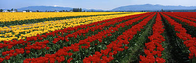 Flower Blooms Photograph - Tulip Field, Mount Vernon, Washington by Panoramic Images