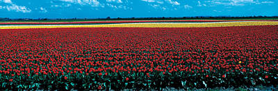 Lincolnshire Photograph - Tulip Field Near Spalding Lincolnshire by Panoramic Images