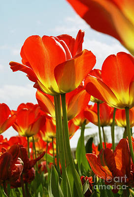Art Print featuring the photograph Tulip Field 1 by Rudi Prott