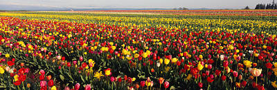 Flower Blooms Photograph - Tulip Field, Willamette Valley, Oregon by Panoramic Images