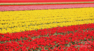 Vibrant Color Photograph - Tulip Fields 1 by Jasna Buncic