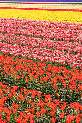 Vibrant Color Photograph - Tulip Fields 2 by Jasna Buncic