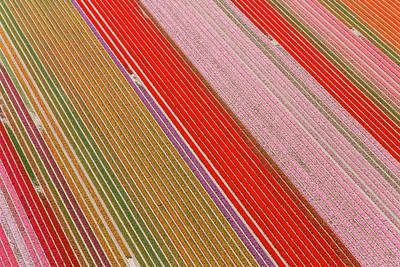 Tulip Fields, North Holland, Netherlands Art Print