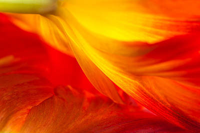 Photograph - Tulip Flame by Joan Herwig