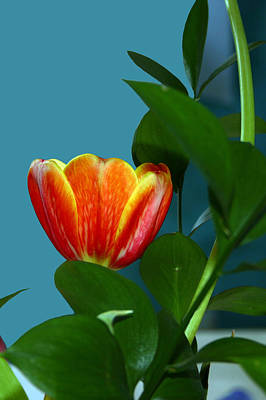 Photograph - Tulip For A Beach House by Jim Baker