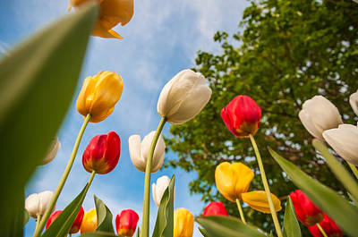 Monmouth County Photograph - Tulip Forest by Kristopher Schoenleber