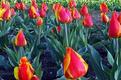 Photograph - Tulip Garden In Dc by Willie Harper