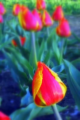 Photograph - Tulip Garden by Willie Harper