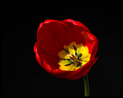Photograph - Tulip Glory by Kenneth Cole