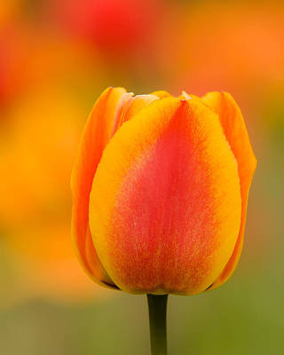 Photograph - Tulip Gold by Robert Clifford