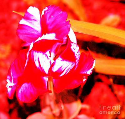 Photograph - Tulip Hot by Rod Ismay