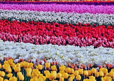 Photograph - Tulip Hues by Benjamin Yeager