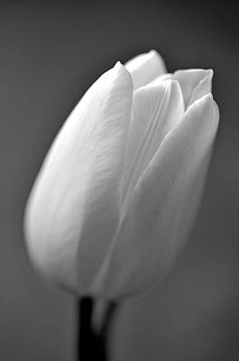 Tulip In Black And White Art Print