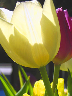 Photograph - Tulip In Bright Sunlight by Amber Nissen