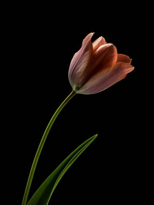 Photograph - Tulip In Quiet Light by Ron Roberts