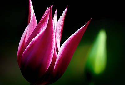 Photograph - Tulip In The Dark by Gary Smith