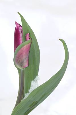 Tulip In The Snow Art Print by  Andrea Lazar