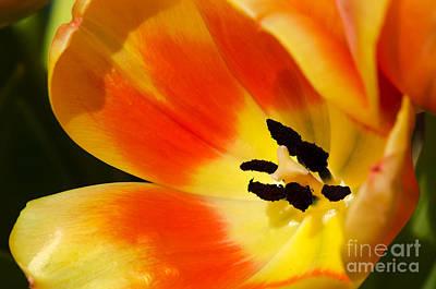 Photograph - Tulip In The Sun by Eddie Yerkish