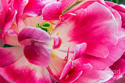 Photograph - Tulip by Kate Brown