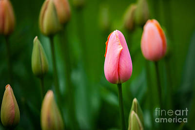 Particoloured Photograph - Tulip by Katka Pruskova