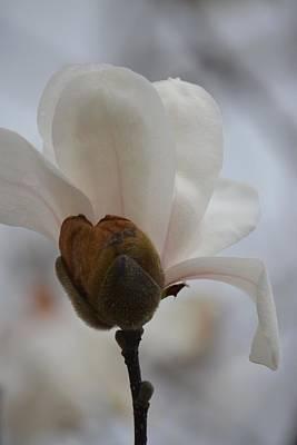 Photograph - Tulip Magnolia 15-04 by Maria Urso