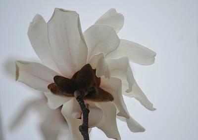 Photograph - Tulip Magnolia 15-6 by Maria Urso