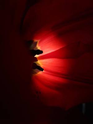Tulip Mania Photograph - Tulip Mania 6 by Rosita Larsson