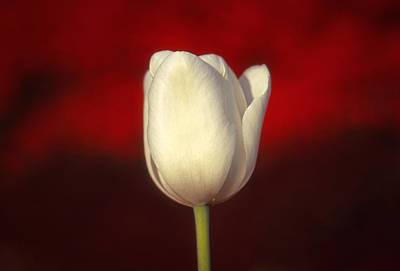 Tulip Art Print by Marion Johnson