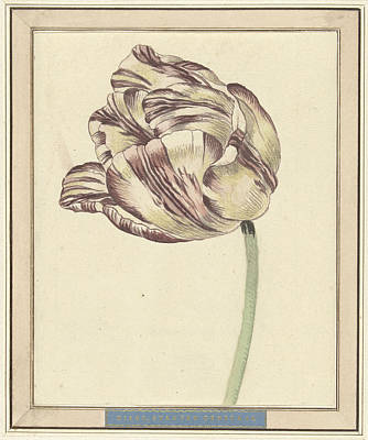 Tulips Drawing - Tulip, Named Bisar, Staaten General by Quint Lox