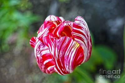 Tulip Art Print by Nur Roy