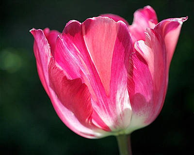 Petal Photograph - Tulip Painted In Shades Of Pink by Rona Black