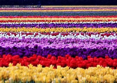 Photograph - Tulip Palette by Benjamin Yeager