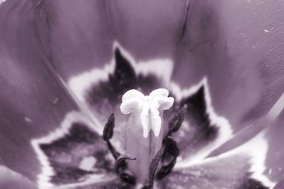 Champagne Photograph - Tulip Passion by Dan Sproul