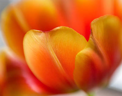 Photograph - Tulip Petals by David and Carol Kelly