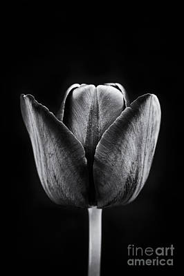 Tulip Queen Of The Night Art Print by Tim Gainey