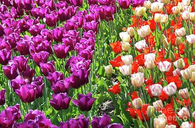 Photograph - Tulip Rainbow  2 by Allen Beatty