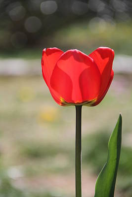 Photograph - Tulip by Rebecca Powers