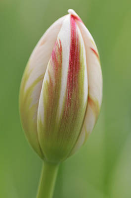 Photograph - Tulip Red And White In Spring by Matthias Hauser