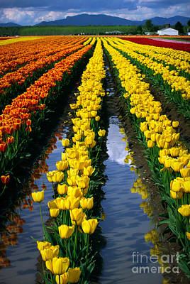 Skagit Photograph - Tulip Reflections by Inge Johnsson