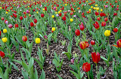 Tulips Online Photograph - Tulip Rows by Leslie Reitman