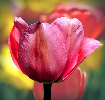 Photograph - Tulip Solo by Joanne Brown