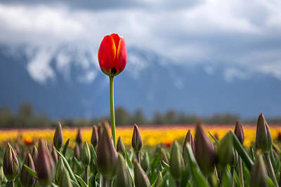 Agassiz Photograph - Tulip Standing Tall by Pierre Leclerc Photography
